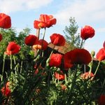 Poppies in full bloom at Flornorvan Bed & Breakfast in Kinver