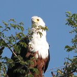 Fish Eagle nearly took my lure!!