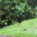 Tanager seen at breakfast