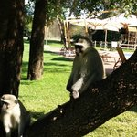 Monkeys roam freely at the pool and playground