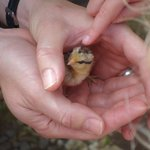 1 day old chick