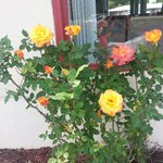 Lovely rose bush near office
