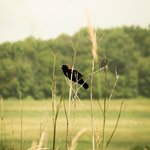 Red winged Blackbird on the grounds