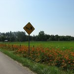 Nearby Amish Buggies sign