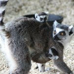 Lemur Babies (Photo taken 6-25-14)