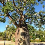 Boab tree at the front of the resort