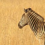 Zebra in the Pilanesberg Game reserve