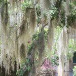 Beautiful Spanish moss