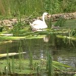 Swans in the garden pond