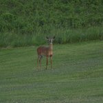 A young doe, foraging in the long grass, comes up to the lawn for a closer look!