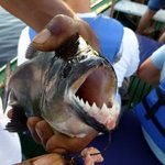 Piranha have sharp pointy teeth