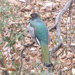 elegant trogon watching us