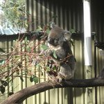 One of many koalas