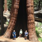 Huge Sequoia trees