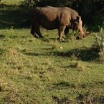 Rhino in the Mara Reserve