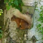 Netherfield B & B : resident red squirrel