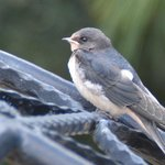 Resident swallow fledgling