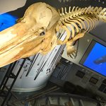 Skeleton of a sperm whale that died on Nantucket in 1998