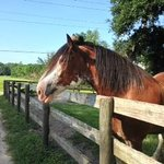 Buddy the Clydesdale!