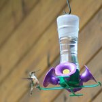 Migratory hummingbirds at the bird feeder