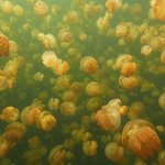 Jellyfish Lake Foto