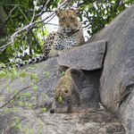 Mum and baby leopard