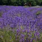 Don't forget your camera for portraits in the lavender!