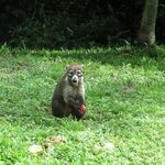 Coati eating an apple