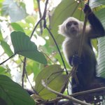 Capuchin Monkey. Close to room
