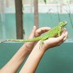 Iguana Conservation Project Foto