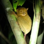 Western tarsier on night walk