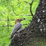 Red bellied woodpecker  with lunch