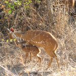 Bush buck born outside our rooms.