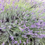 Lavendel everywhere,beautiful