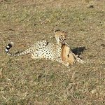 Cheetah having his meal