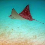 A giant spotted eagle ray