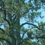 Bald Eagle in the tree