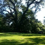 Live Oak tree on grounds (has bench under it)