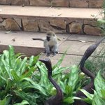 Monkey near the pool