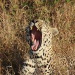 One of our leopard sightings