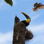 Toucan raiding Kiskadee nest in front of LOI