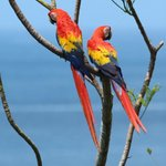 Macaws viewed from the deck of the LOI