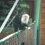Monkey on the suspension bridge of the hotel