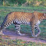 Leopard on game drive.