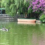 Black Swans in Green Lake