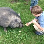 Kristopher feeding Bacon the potbelly pig!