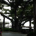 Banyan tree at the beach house bar