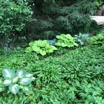 Hostas - grounds