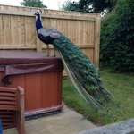 Peacock on the hot tub