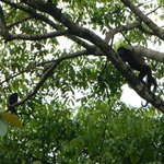 Howler Monkeys in trees in front of cabins